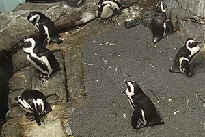 Live-African-Penguins-(USA)
