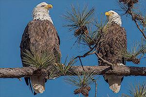 Berry-College-Eagle-Cam-(USA)