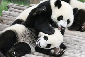 Panda-Cam-(USA)